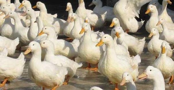 2019养鸭子需要多少投资?