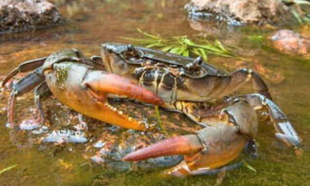 毛蟹和阳澄湖大闸蟹的区别最大之处在哪儿?