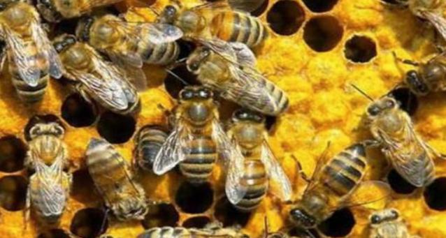 蜜蜂中的蜂王浆是怎样形成的?