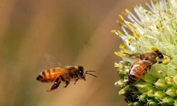 用什么才能够吸引蜜蜂到蜂箱里筑巢呢?
