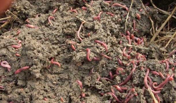 蚯蚓对土壤和植物的作用