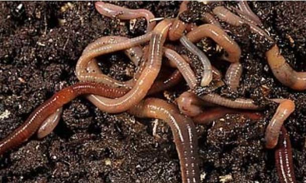 养殖1斤蚯蚓可以繁殖多少呢?