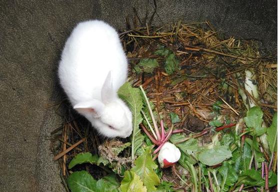 獭兔魏氏梭菌病的诊断与防治