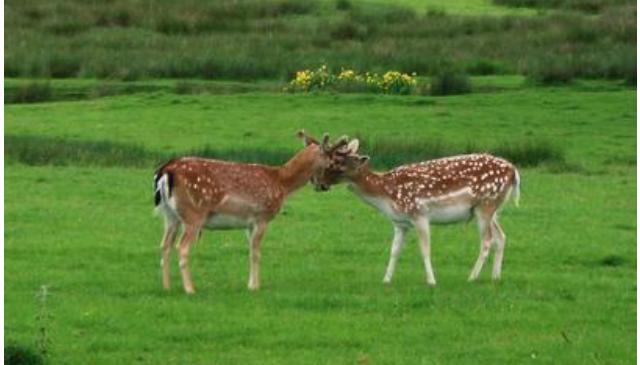 养殖梅花鹿怎么养?