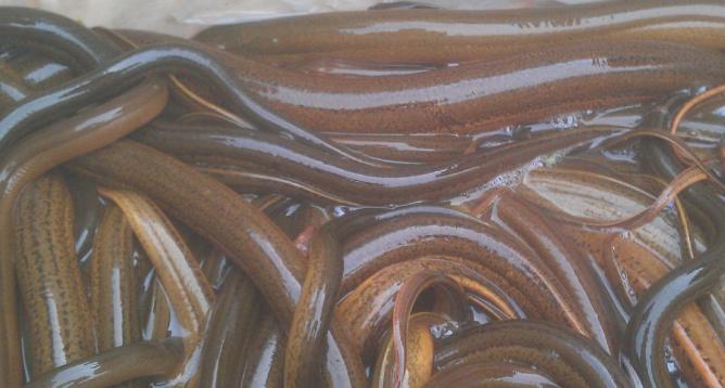 野生黄鳝市场价格多少钱一斤?