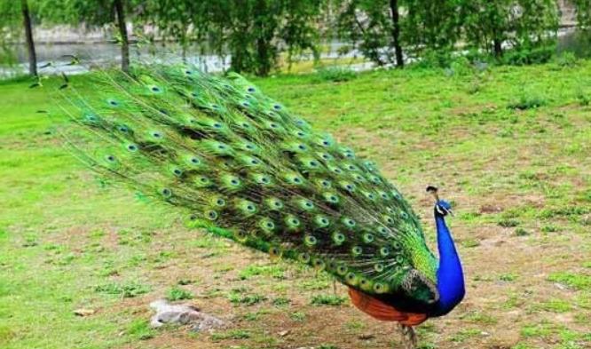 2020年养殖孔雀赚钱吗?有前景吗?