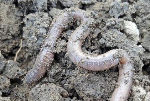 现在养殖蚯蚓一亩利润究竟有多少?