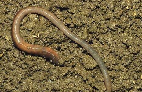 蚯蚓究竟吃什么食物长大?