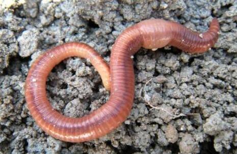 蚯蚓怎么繁殖下一代?