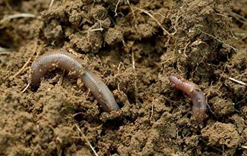 常见家养蚯蚓最简单方法有哪些?