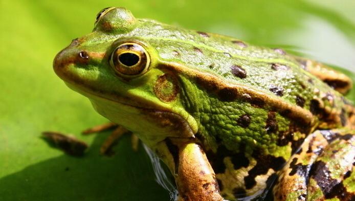 人工饲养的青蛙是否含有激素?
