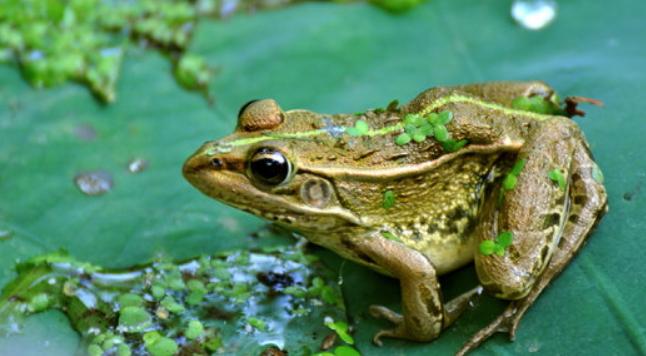 人工怎样饲养青蛙呢?