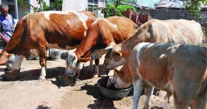 养十头母牛一年的利润多少?