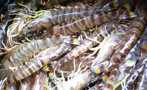 如何淡水养殖基围虾?