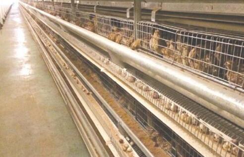 现在鹌鹑养殖的利润究竟有多少?