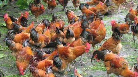 在农村散养1000只土鸡,大概需要多少成本?