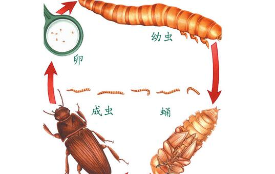 黄粉虫究竟是怎么繁殖的?
