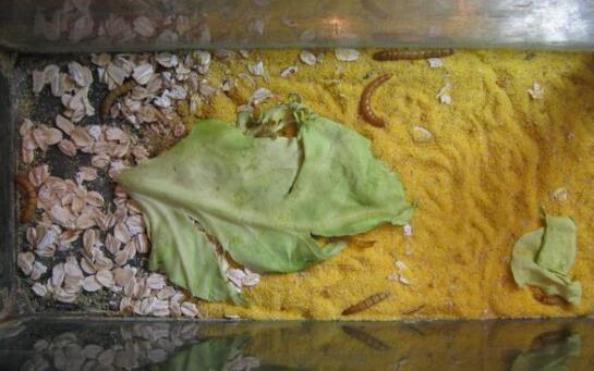 一斤黄粉虫养殖成本要多少?
