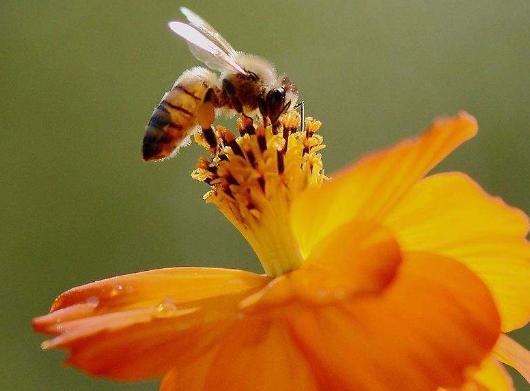 2019年养蜜蜂挣钱吗?蜜蜂的特点有哪些?