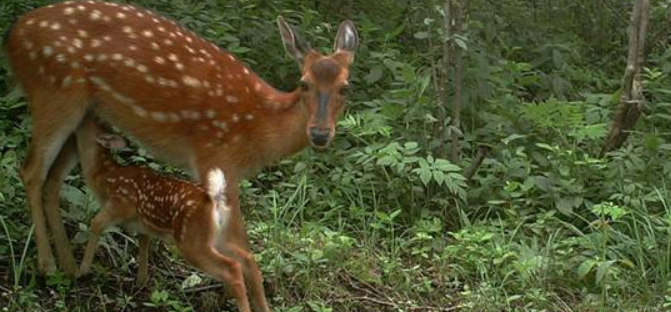 未来10年养鹿前景如何?