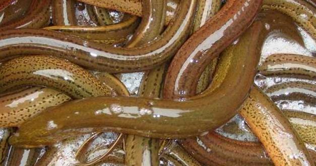 野生黄鳝的生活环境和生存特点?