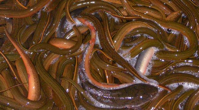 孕妇可以吃黄鳝吗?