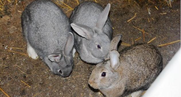 养殖兔子什么草可以吃?