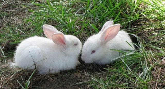 养殖兔子一直拉稀怎么办?