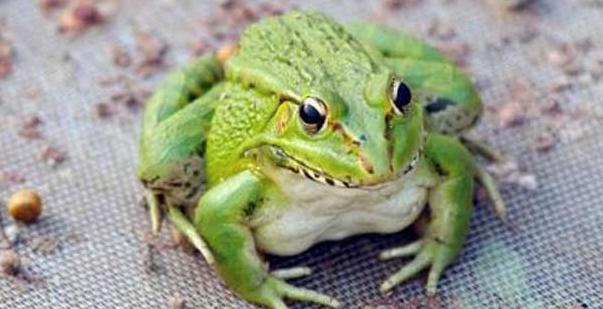 青蛙养殖的市场风险多大?
