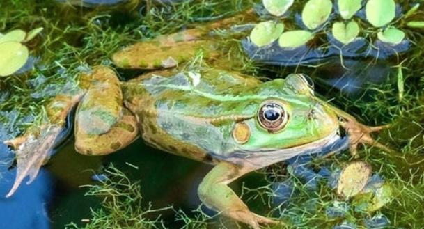 青蛙养殖幼蛙吃什么长大?