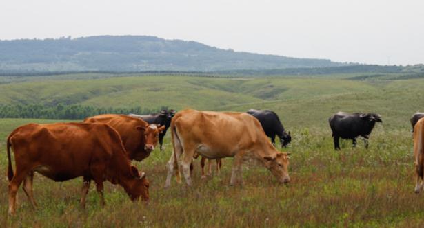 圈养牛养殖饲料技术?
