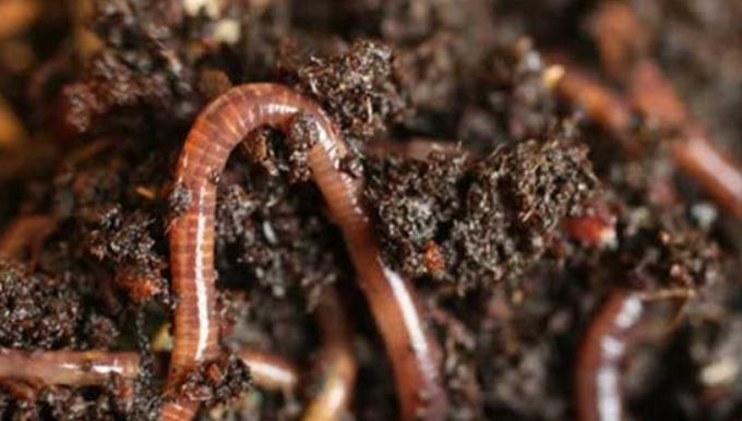 怎么养蚯蚓方法最简单繁殖快?