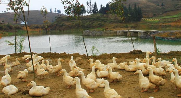 合同制度养鸭靠谱吗?