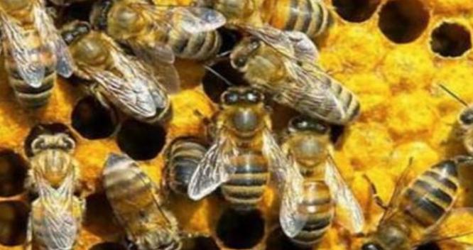 有毒蜜蜂有哪些种类?