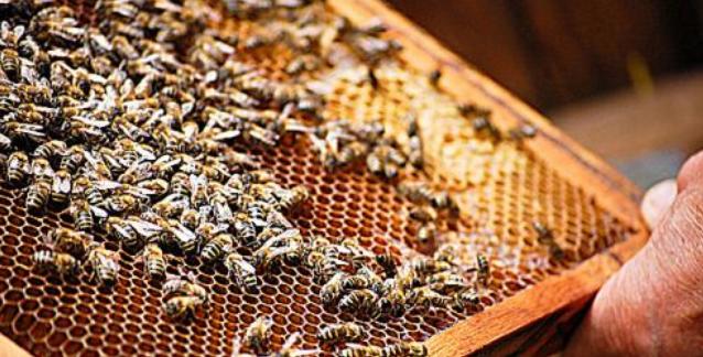 如何快速抓野蜜蜂王?