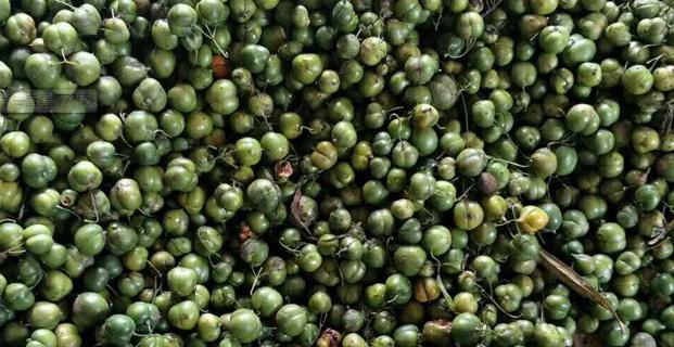 黄精新采的种子怎么处理?