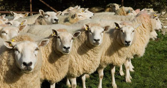 2019养羊补贴新政策是怎么样的?