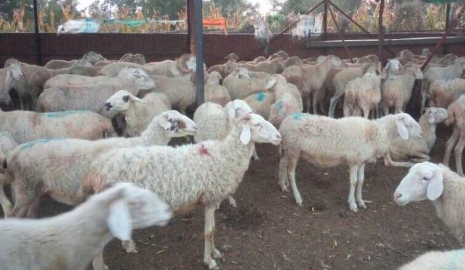 农村如何散养羊?