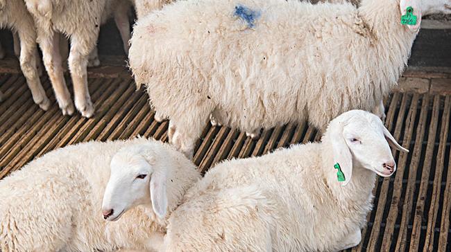 秸秆氨化如何养羊养殖技术怎么样?