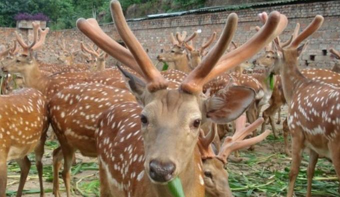 可以随便养梅花鹿吗?