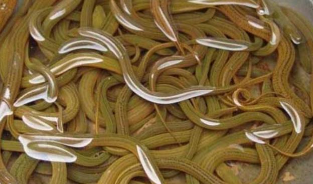 鳝鱼的功效有哪些及食用禁忌是什么?