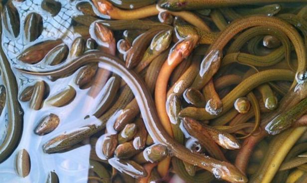 养殖黄鳝需要多少钱一斤?