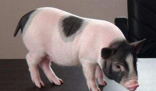 香猪养殖的前景和养殖利润如何?