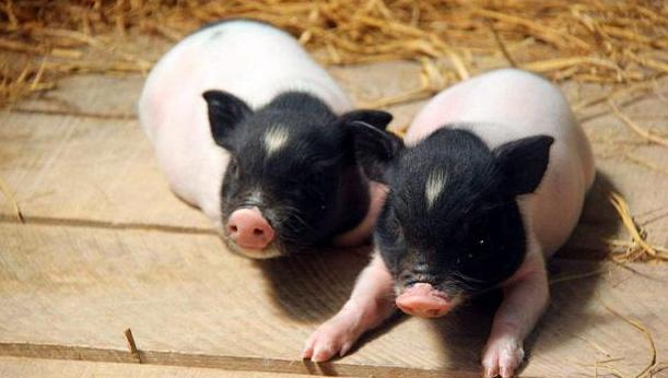 香猪和普通猪肉肉质上有什么区别?
