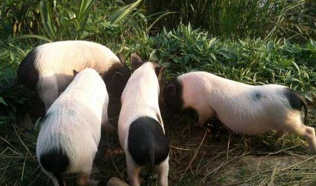 近几年香猪养殖行情好吗?