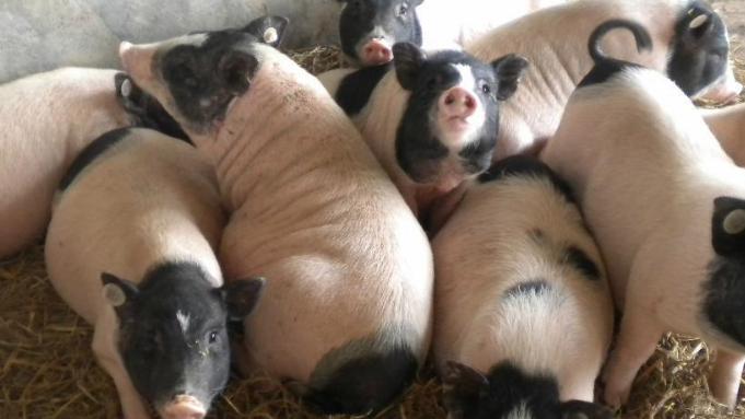 香猪养殖技术条件有什么要求?