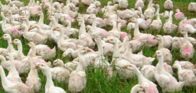 养殖蛋鹅和肉鹅哪个经济效益更好呢?