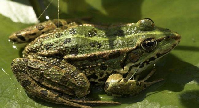 青蛙养殖人工如何繁殖呢?