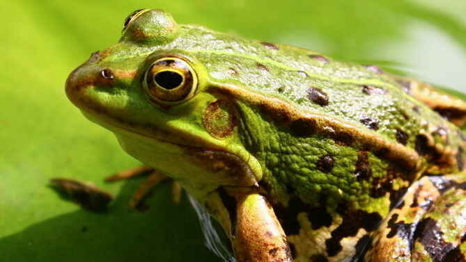 人工养殖的青蛙大概什么价格?