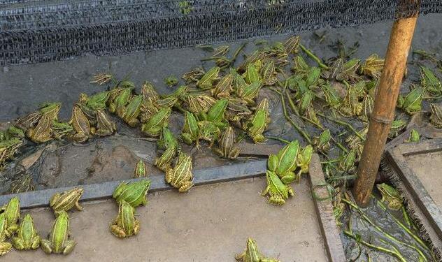 青蛙养殖管理技术